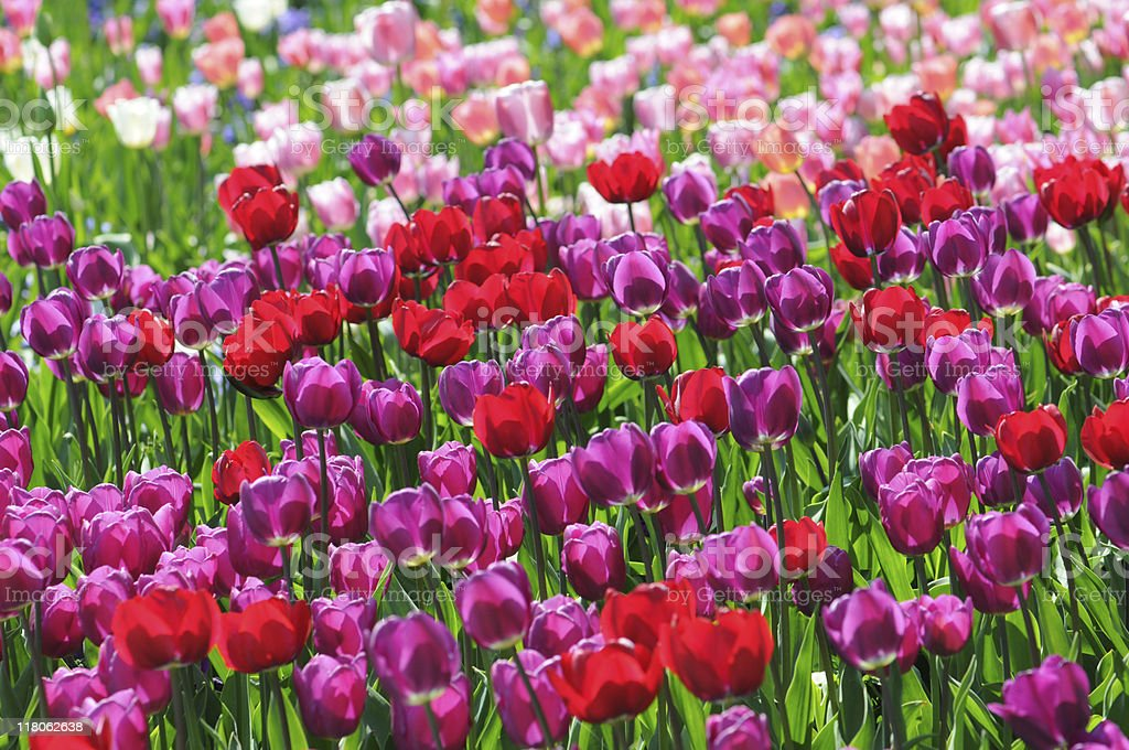 pink red purple tulips stock photo