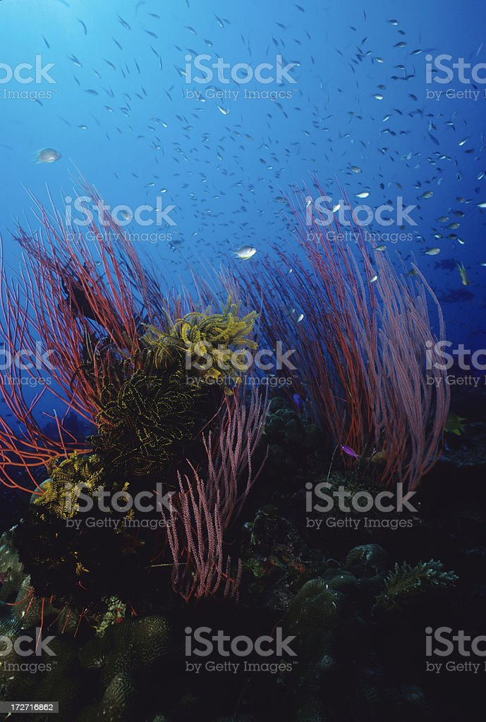 Pink Reef royalty-free stock photo
