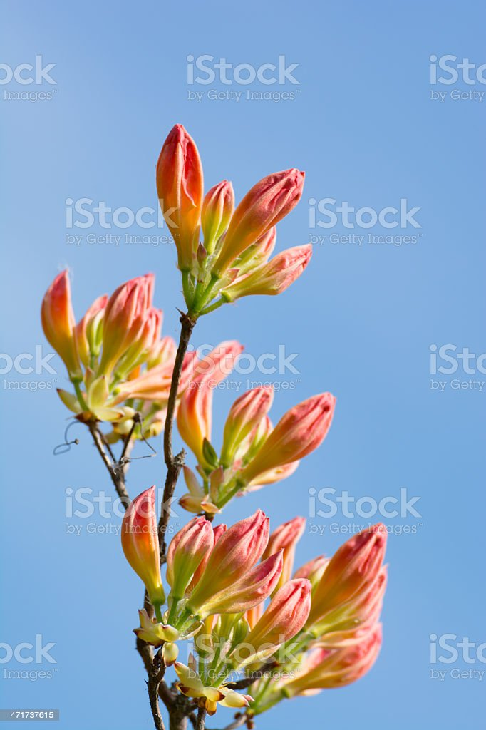 Pink Rhododendron Buds on Blue Background- XXXL royalty-free stock photo