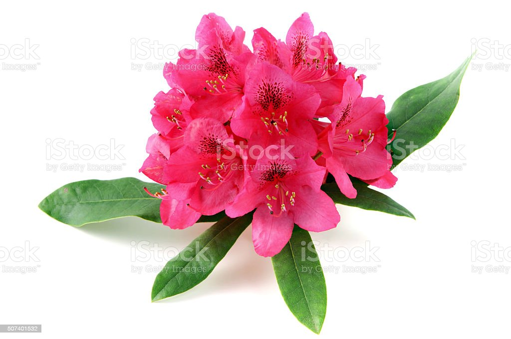 pink rhododendron flowerhead on white isolated background stock photo