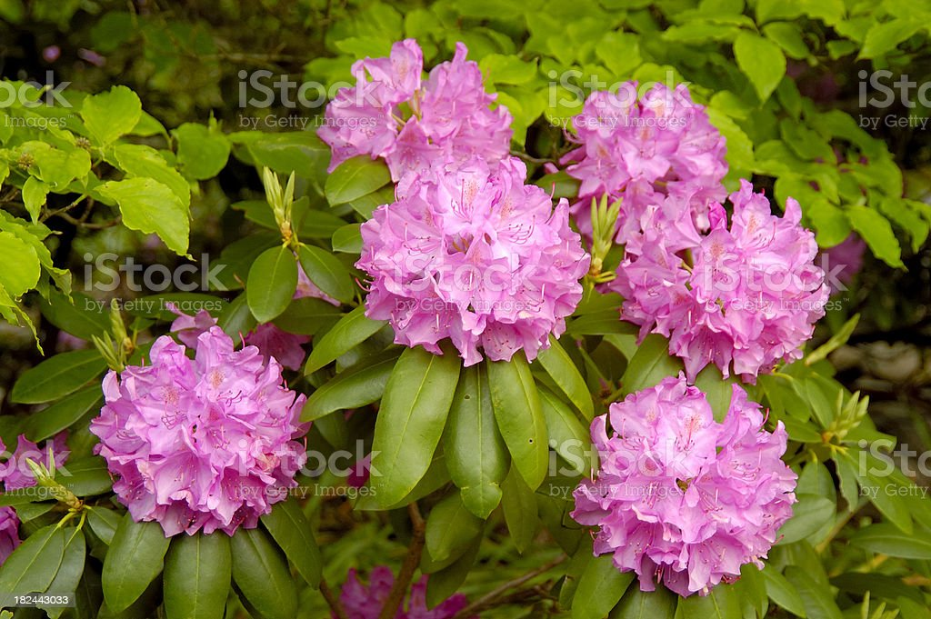 Pink rhododendron flowers and leaves royalty-free stock photo