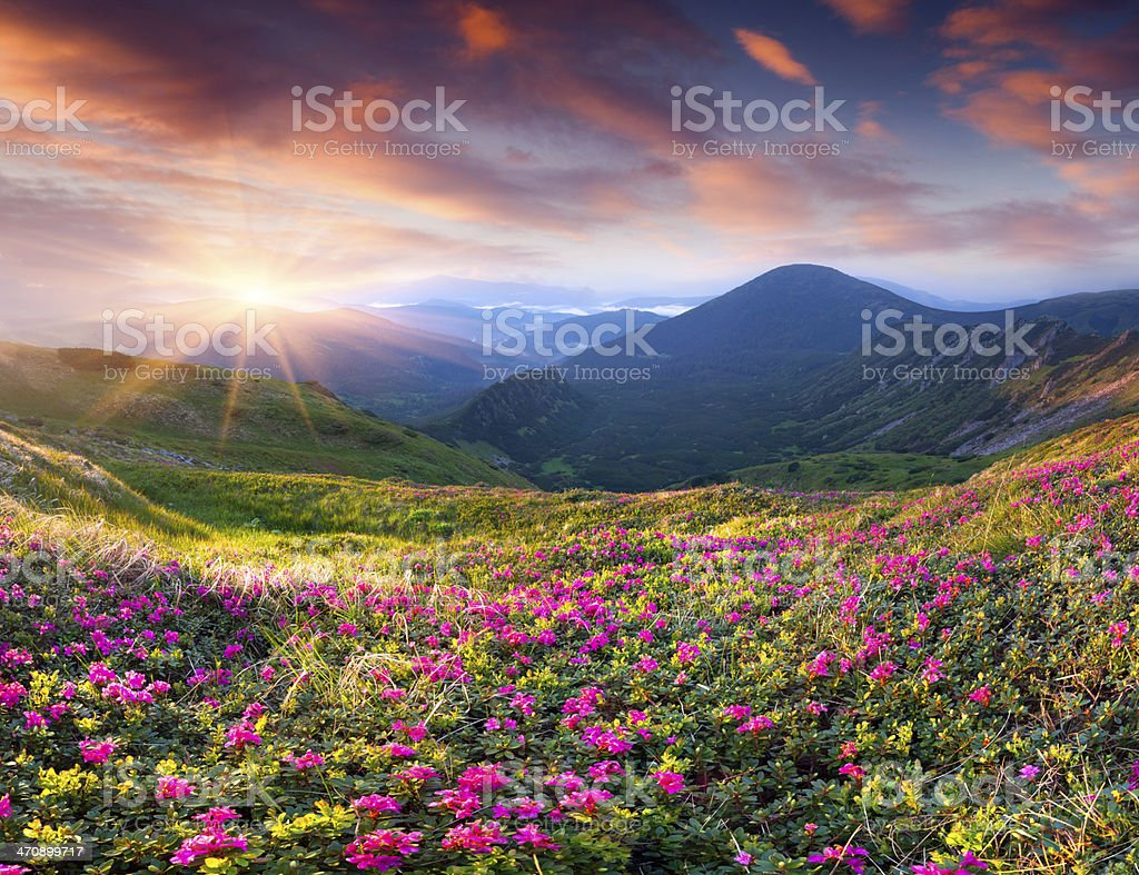 Pink rhododendron flowers in a magical landscape stock photo