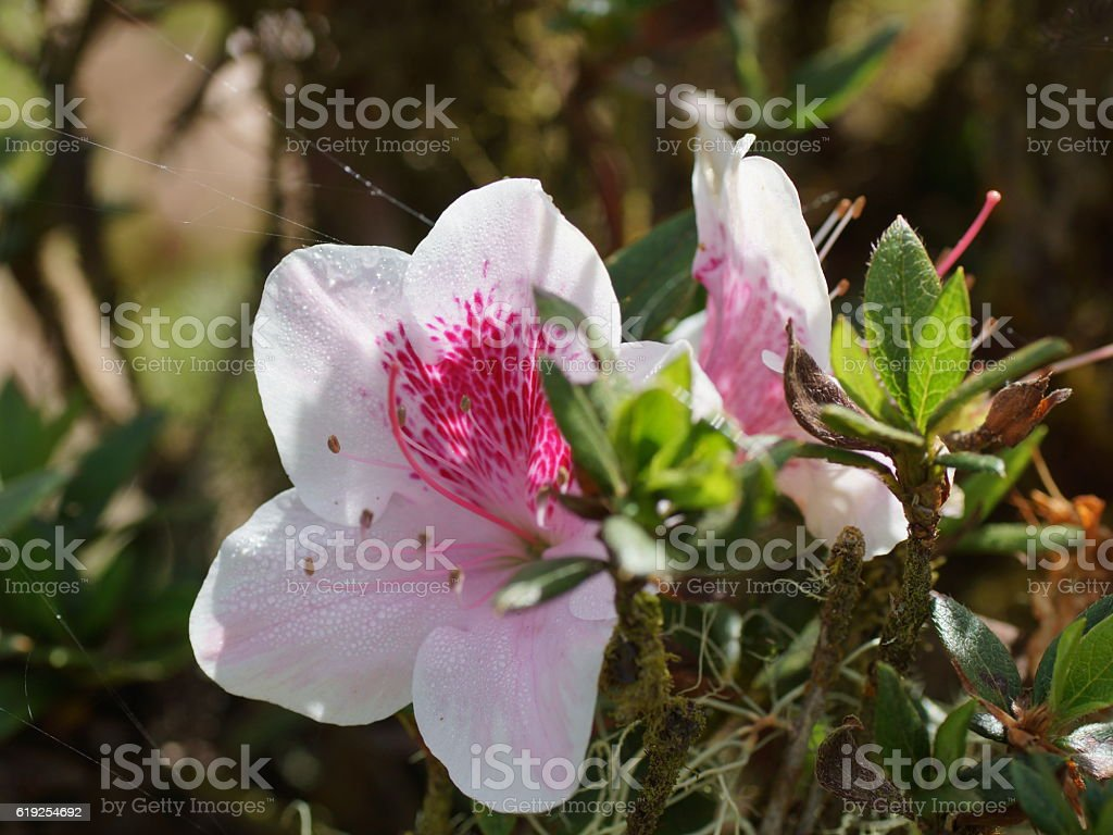 Pink rhododendron flowers in cloudforest. Costa Rica stock photo