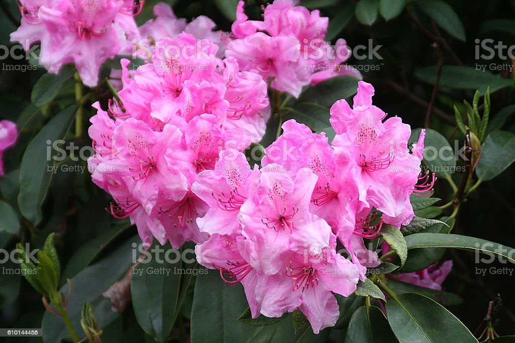 Pink Rhododendron Flowers in Edinburgh stock photo