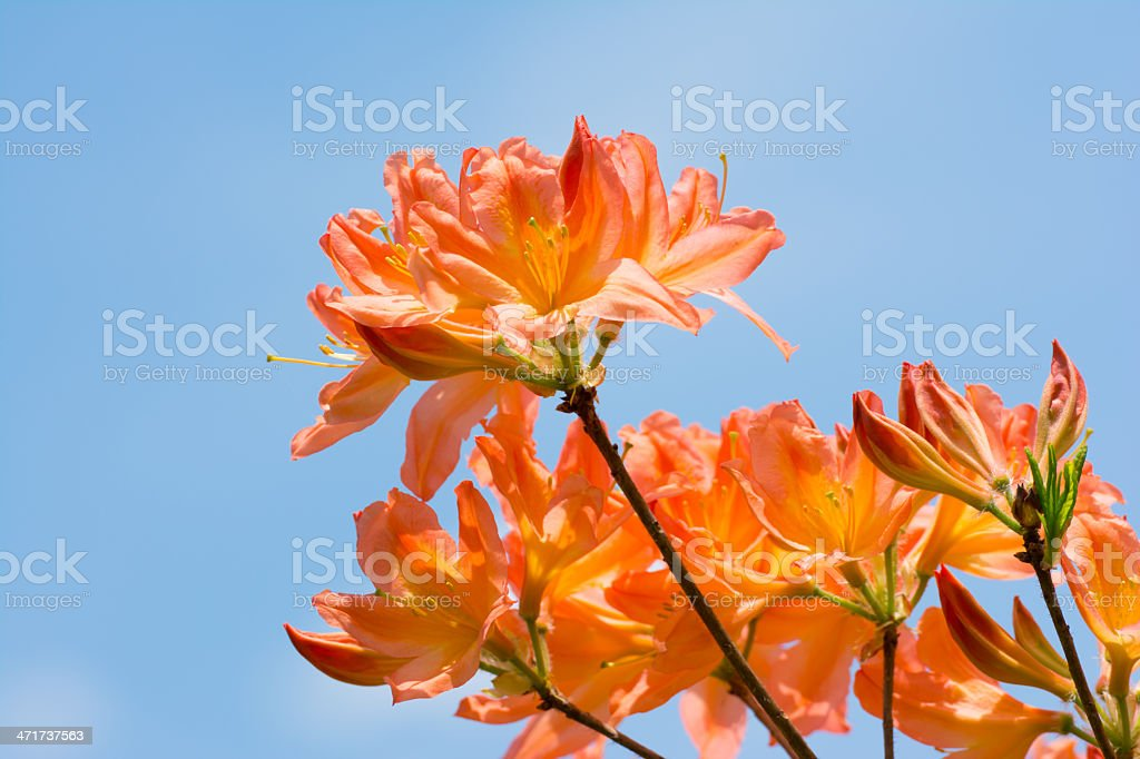 Pink Rhododendron Flowers on Blue Background- XXXL royalty-free stock photo