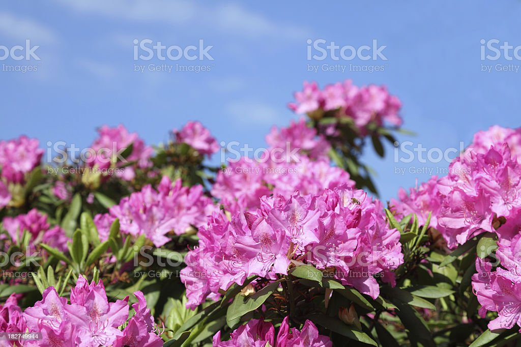 pink rhododendron flowers stock photo