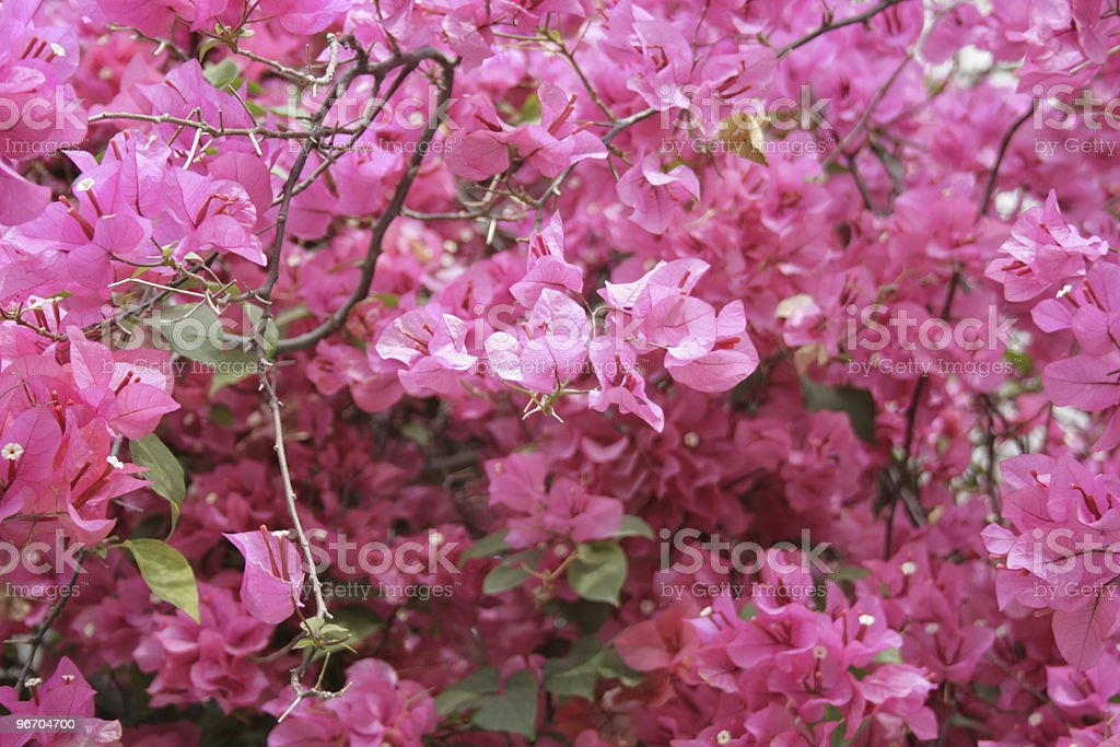 Pink Rhododendron royalty-free stock photo