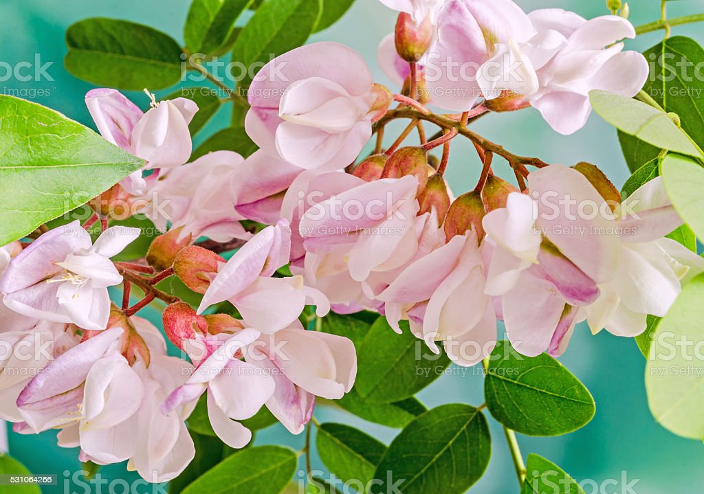 Pink Robinia pseudoacacia tree flowers, know as black locust stock photo
