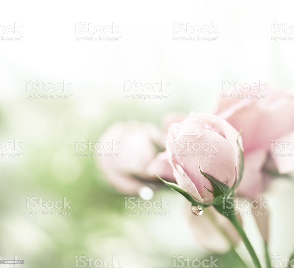 Pink rose after rain royalty-free stock photo