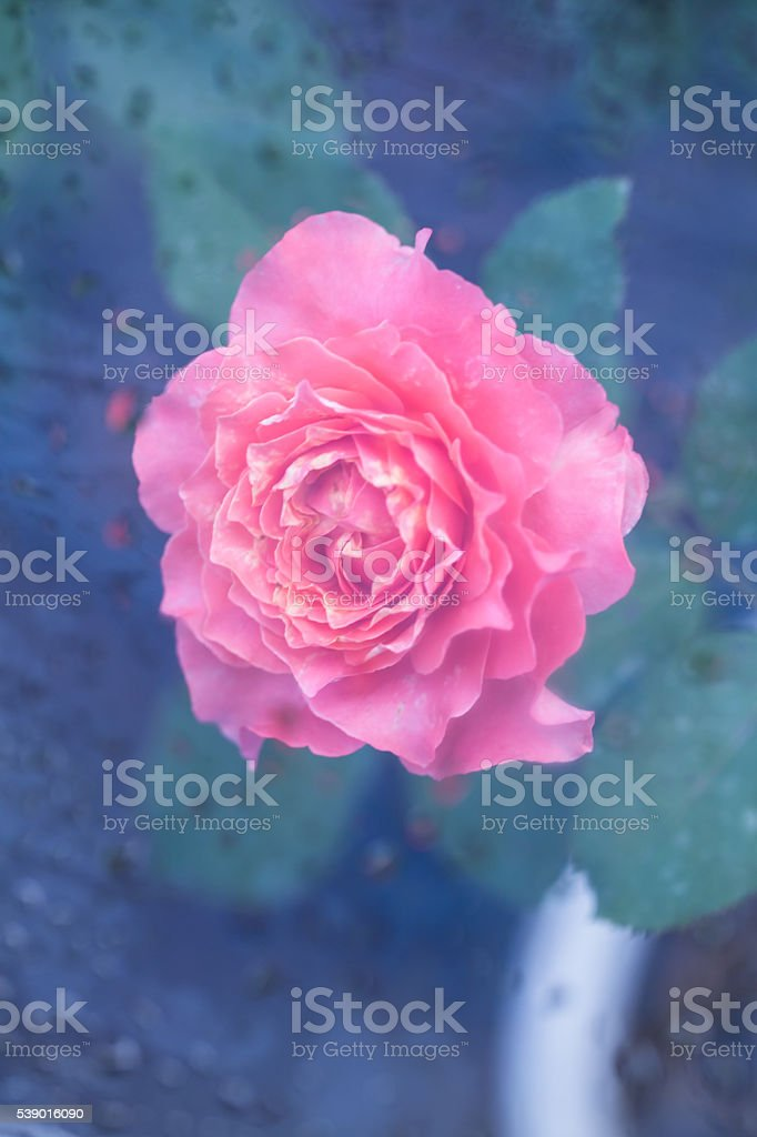 pink rose after rain stock photo
