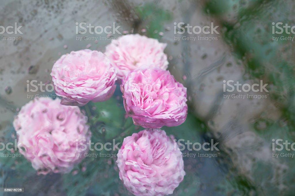 pink rose after rain stock photo