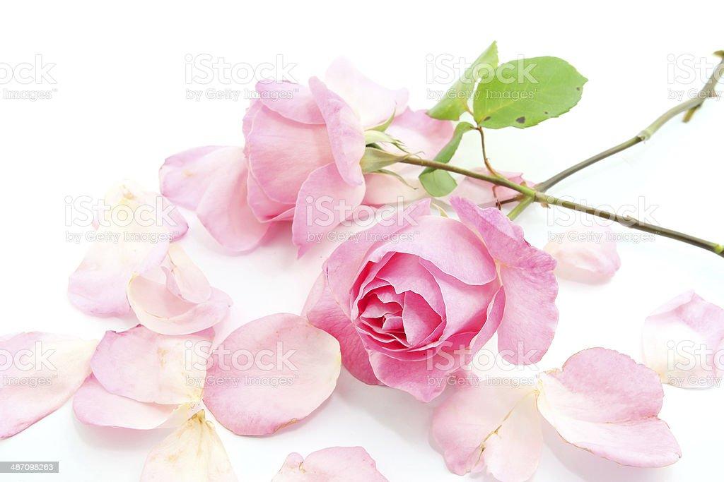 Pink rose and petals royalty-free stock photo