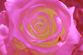 Pink rose background, , fresh flower with water drops