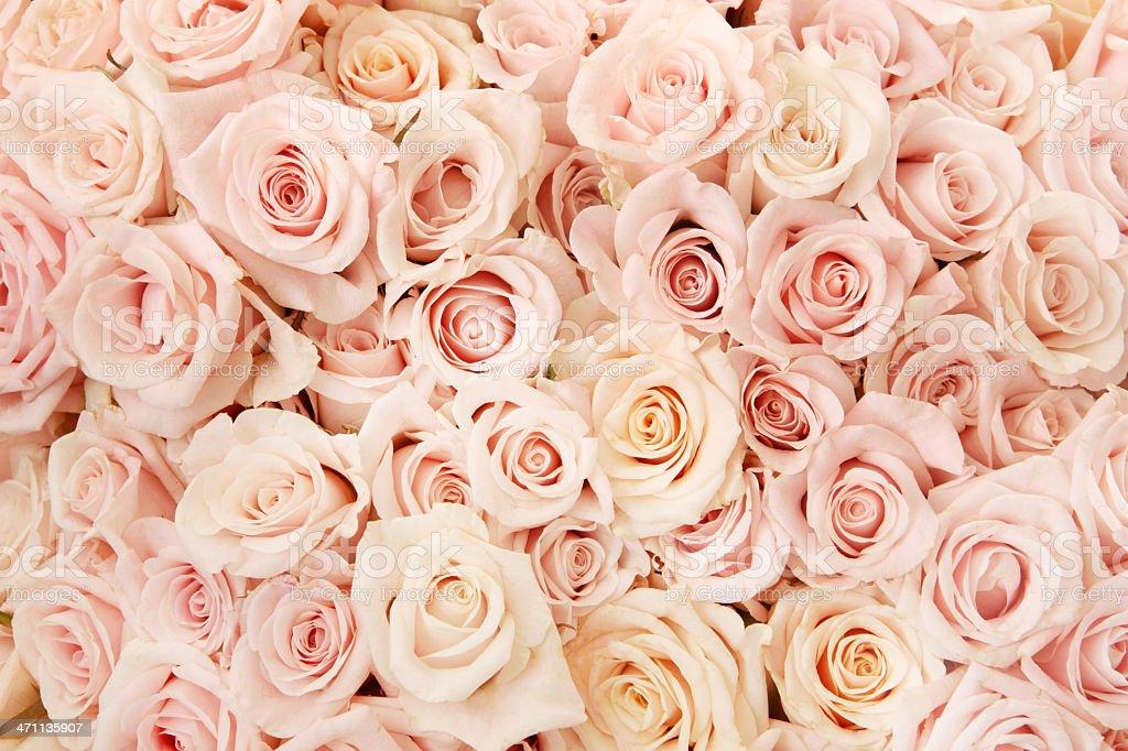 Pink Rose Beauty stock photo