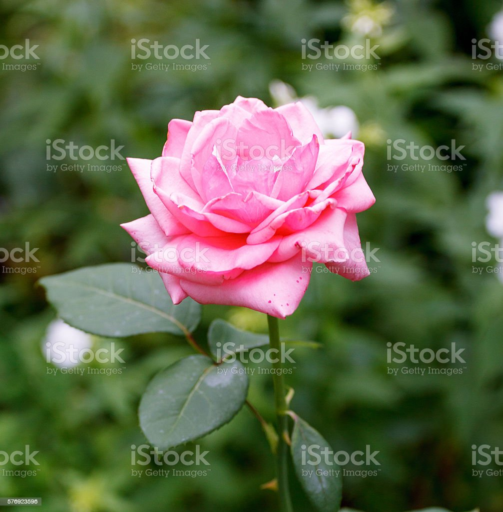 Pink Rose Blooming in Garden stock photo