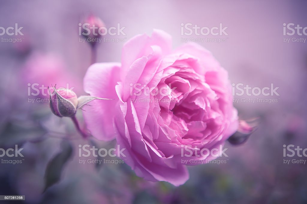 Pink Rose Blooming in Soft Focus Natural Light royalty-free stock photo