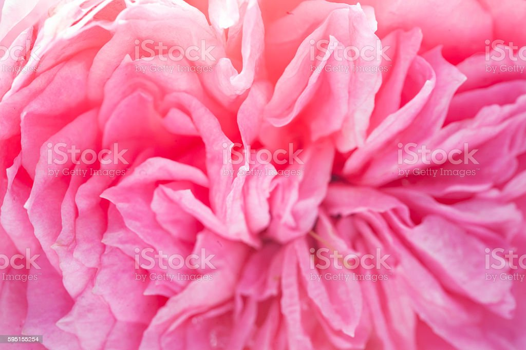 pink rose  blooming in the morning stock photo