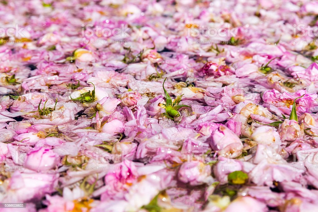 Pink rose blossom in pot-still stock photo