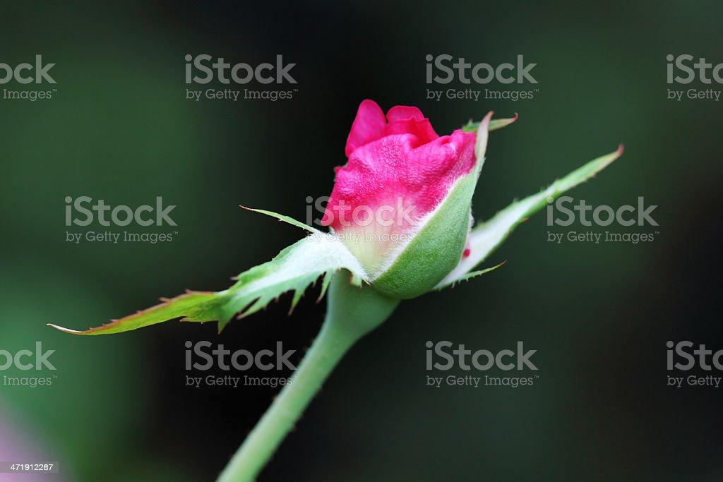 Pink rose bud opening royalty-free stock photo