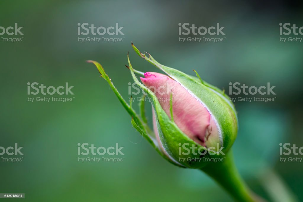 pink  rose bud ready to bloom with natural background stock photo