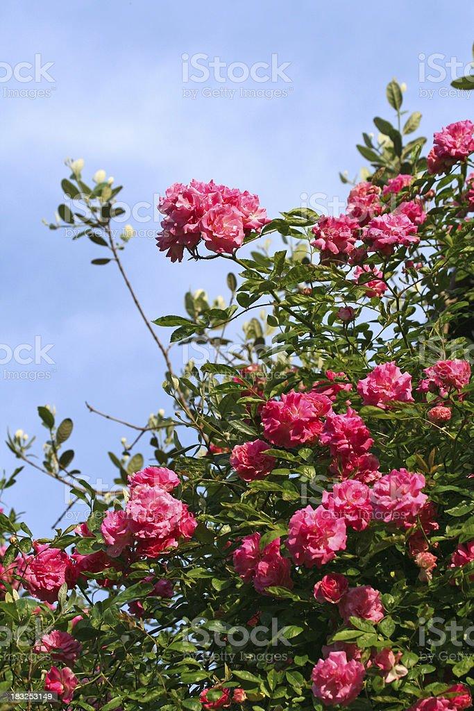 Pink Rose bush royalty-free stock photo