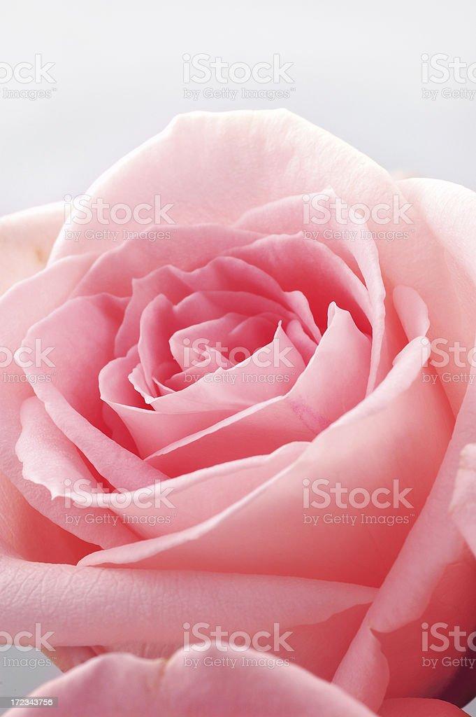 pink rose detail stock photo