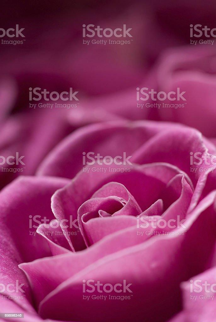 Pink rose detail. royalty-free stock photo