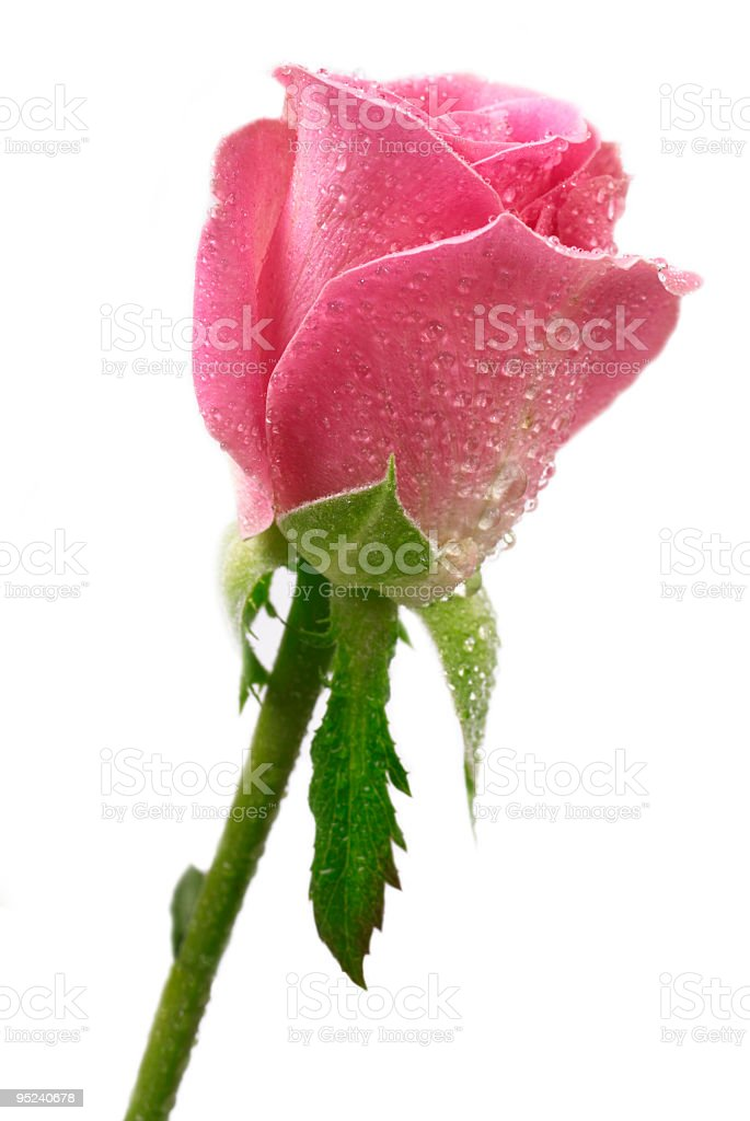 Pink Rose dew drops stock photo
