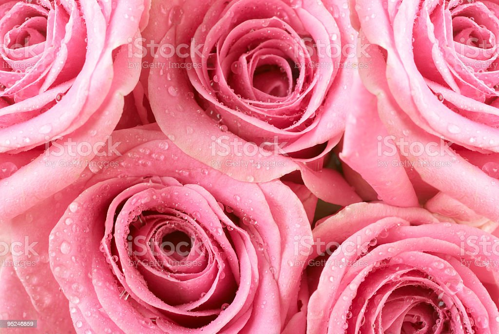 Pink Rose dew drops royalty-free stock photo