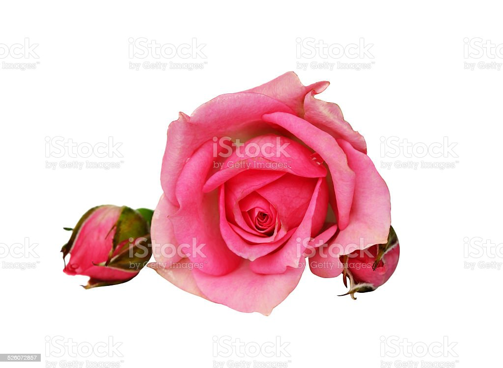 Pink rose flower and buds stock photo