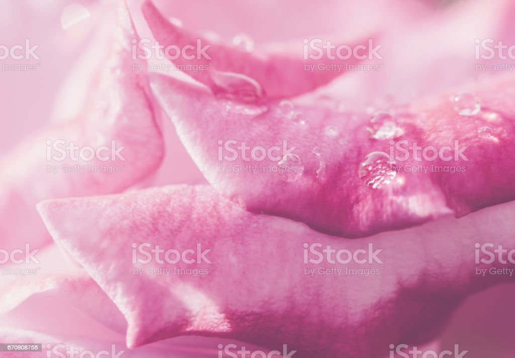 Pink Rose Flower background stock photo
