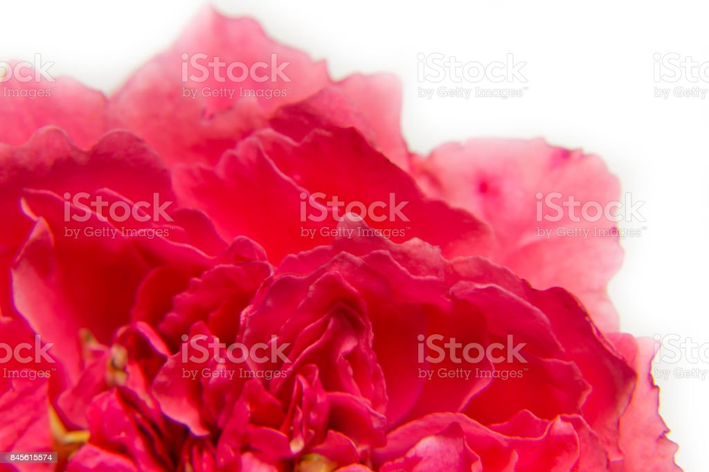 Pink rose flower close -up on white background, macro ,selective focus stock photo