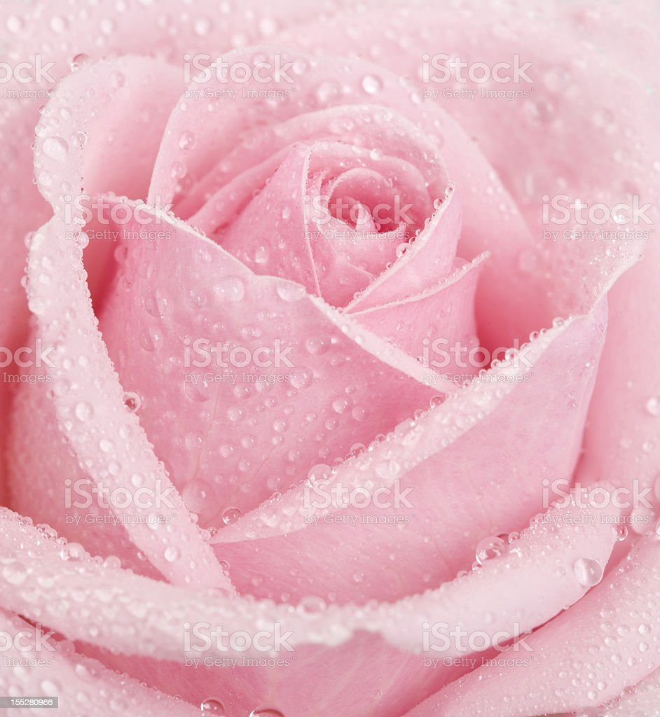 Pink Rose Flower covered in waterdrops stock photo