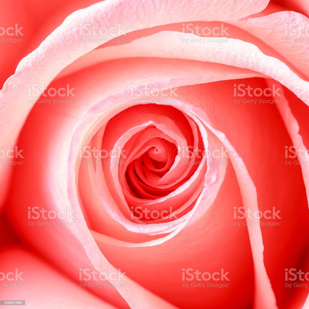 pink rose flower macro stock photo