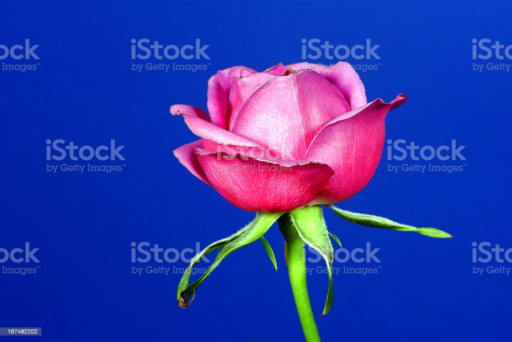 Pink rose flower on a blue background royalty-free stock photo