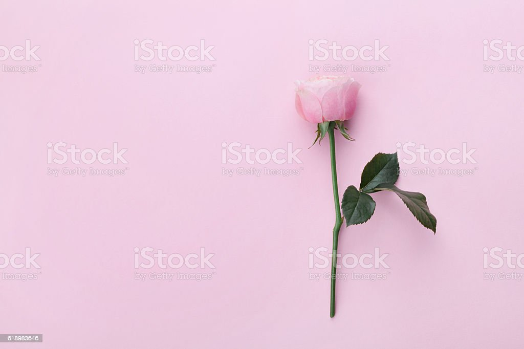 Pink rose flower on pastel background top view. Flat lay. stock photo