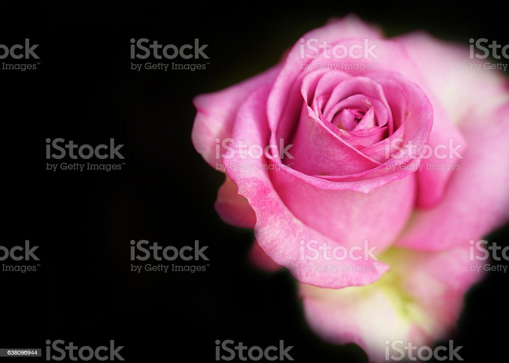 Pink rose flower with soft background. stock photo