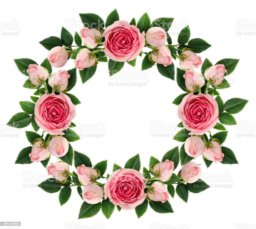 Pink rose flowers and buds round frame stock photo