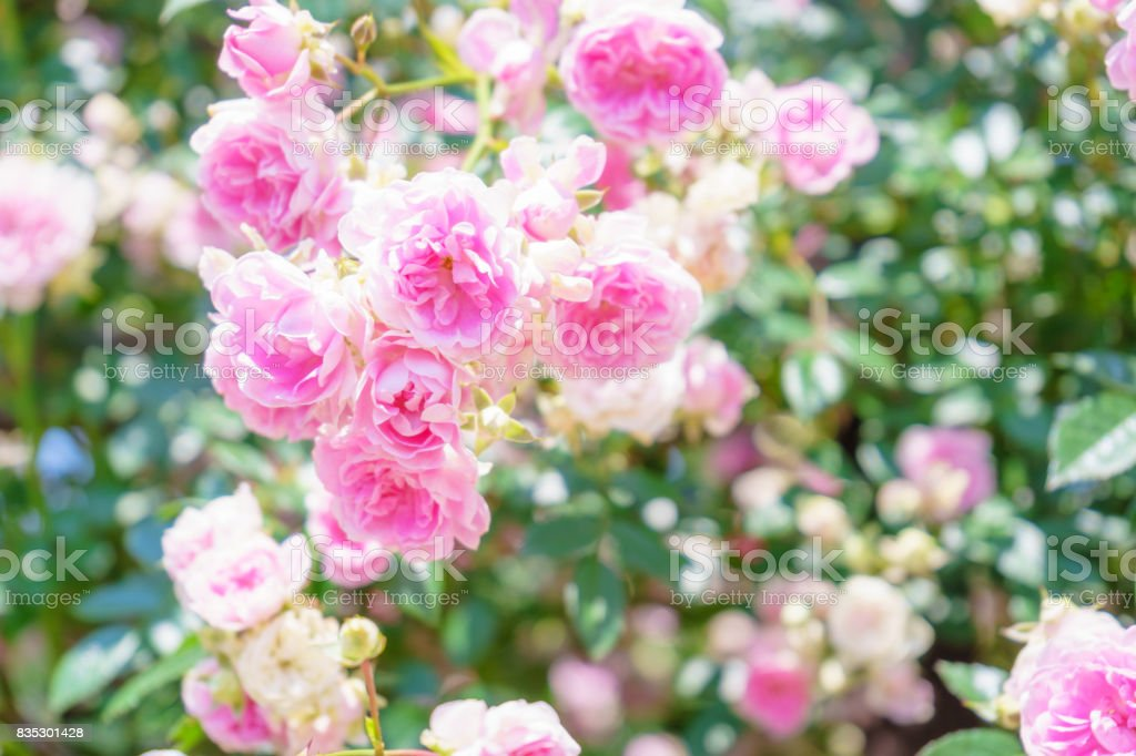 Pink rose flowers stock photo
