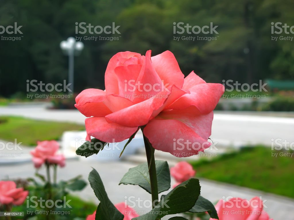 Pink rose in a garden stock photo