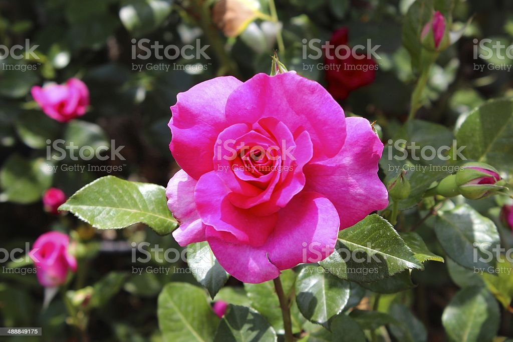 Pink Rose in Addis Ababa royalty-free stock photo