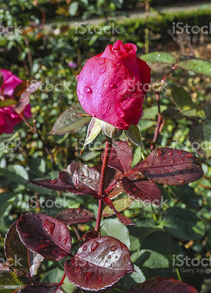 Pink rose in Bern royalty-free stock photo