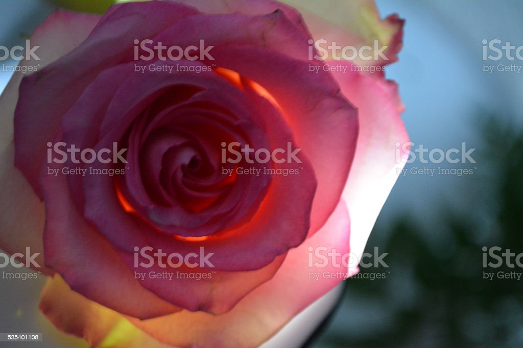 Pink rose in full bloom with sunlight stock photo