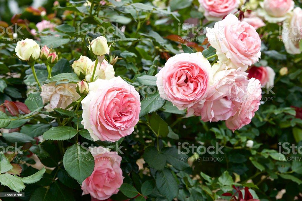 Pink rose in garden. stock photo