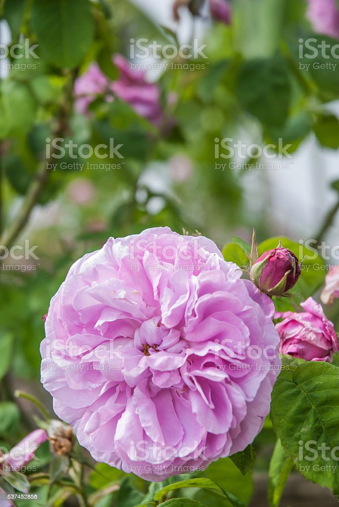 Pink Rose in garden stock photo