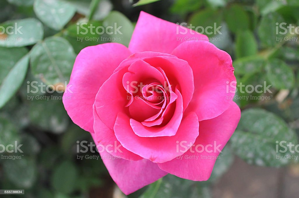 Pink rose in morning stock photo