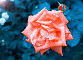 Pink rose in the drops of rain
