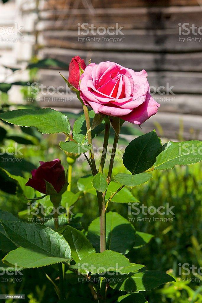 Pink rose en el jardín foto de stock libre de derechos