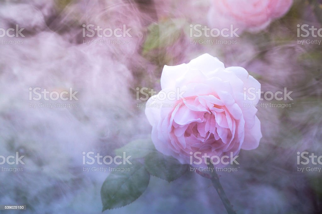 pink rose in the morning with smoke at background stock photo