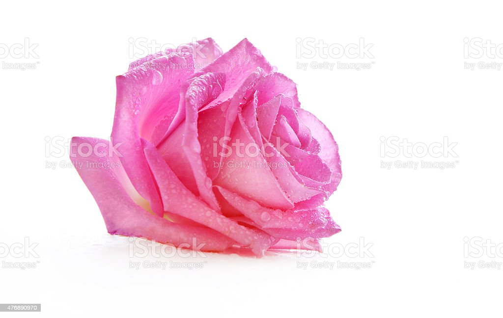 pink rose in water drops stock photo
